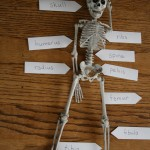 Easy DIY Bone Identification Lesson